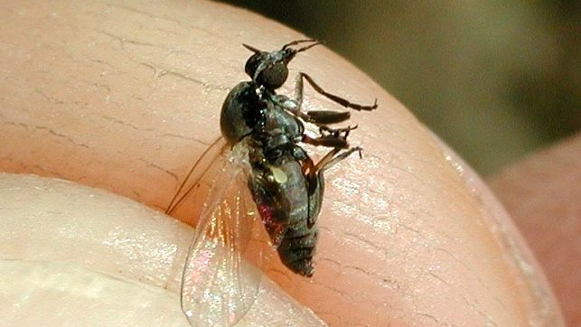 mosca negra delta de l'ebre